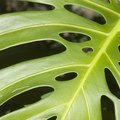 Can I Plant My Split-Leaf Philodendron Outside?