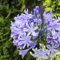 Problems With Agapanthus