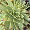How to Care for a Hens & Chicks Plant