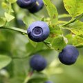 Are Coffee Grounds Good for Blueberry Plants?