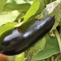 Companion Planting With Eggplants