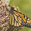 How to Kill Milkweed