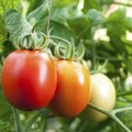 How to Cure Tomato Blight