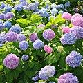 Companion Planting for Hydrangeas