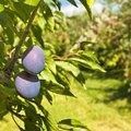 Plum Tree Identification