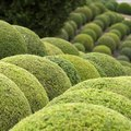 The Best Evergreen Shrubs for Tennessee