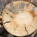 How to Treat Tree Borers