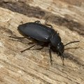 How to Identify Black Beetles