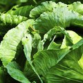 Homemade Pest Control for Collard Greens
