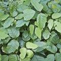 Poison Plants Native to Ohio