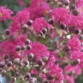 The Facts About a Crape Myrtle