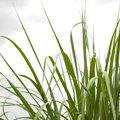 How to Identify Sweet Grass