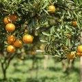 How to Fertilize Citrus Trees