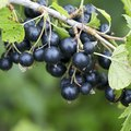 The Differences Between Blueberries and Black Currants