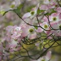 When to Plant Dogwood Trees?