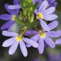 How to Grow Scaevola