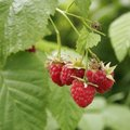 When to Pick Wild Raspberries