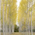 What Are the Different Types of Poplar Trees?