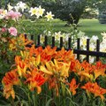 How to Prepare Daylilies for Winter
