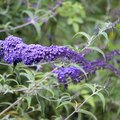 Why a Butterfly Bush Is Turning Yellow