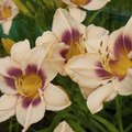 Daylilies That Bloom All Summer Long