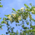 What Are the Dangers of Black Locust Tree Thorns?
