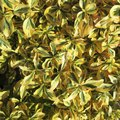 How to Propagate Golden Euonymus