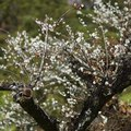Flowering Plum Tree Facts