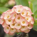 Crown of Thorns Plant Care