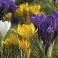 How to Kill Flower Bulbs