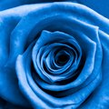 What Does the Blue Rose Represent?