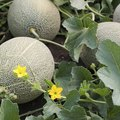 How to Grow Melons (Honeydew, Cantaloupe and Muskmelon)