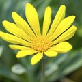 How to Grow Gazania