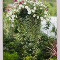 How to Care for a Bridal Veil Hanging Plant