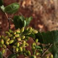 How to Grow Pistachios