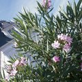 How to Make Oleanders Grow Tall