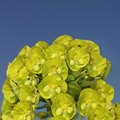 How to Cut Back Euphorbia