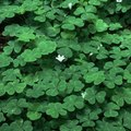 The Best Type of Clover to Plant in Shade
