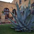 How to Harvest Agave Nectar