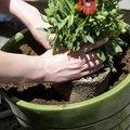 Using Aqua Globes to Water Plants
