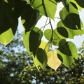Information About the Peepal Tree