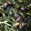 Are Olive Trees Poisonous to Animals?