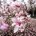 How to Care for a Japanese Magnolia