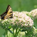How to Transplant Sedum Autumn Joy