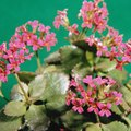 How to Cut Back Kalanchoe