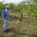 How to Spray Fruit Trees With Dormant Oil