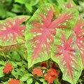 Are Caladiums Annuals or Perennials?