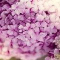 Flowers That Look Like Hydrangeas