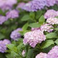 How to Split Hydrangea Plants