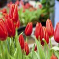 How to Plant Tulips Outside After They Bloom in Pots